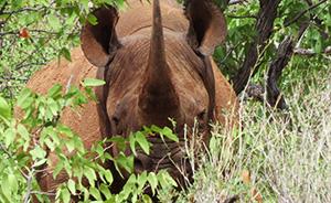Hans Otto, dominant male black rhino in the valley