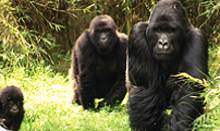 !!! INTREPID WILL ABSORB INCREASE IN RWANDAN GORILLA PERMITS